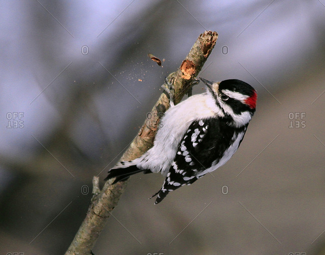 Male Downy Woodpecker - Offset Collection