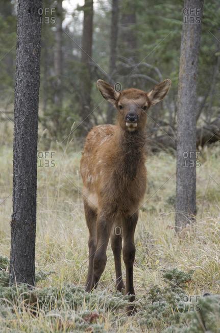 Wild Calf elk or wapiti looking head-on at viewer, (Cervus canadensis), Jasper National Park, Alberta, Canada