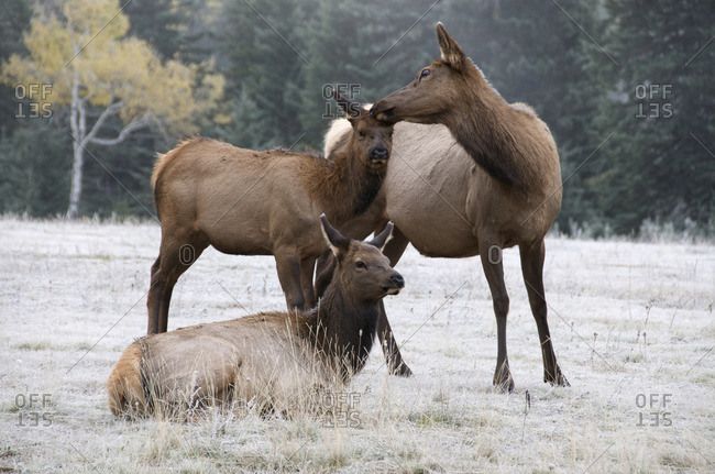 Wild cow and calf elk or wapiti (Cervus canadensis), mutual grooming/bonding, Jasper National Park, Alberta, Canada