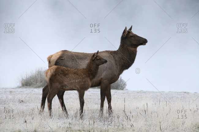 Wild cow and calf elk or wapiti on foggy morning in frost-covered grasses, (Cervus canadensis), Jasper National Park, Alberta, Canada