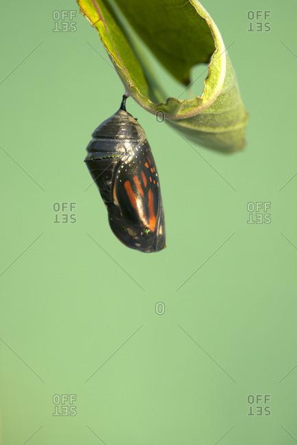 Monarch butterfly chrysalis attached to milkweed leaf (Danaus plexippus) Near Thunder Bay, Ontario, Canada