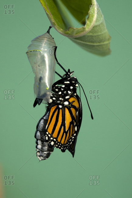 Monarch butterfly newly hatched, resting on milkweed plant (Danaus plexippus) Near Thunder Bay, Ontario, Canada