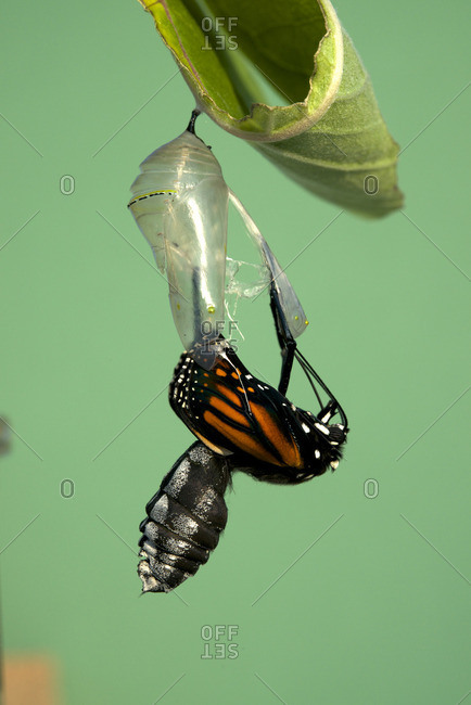 Monarch butterfly emerging from chrysalis to butterfly, attached to milkweed leaf (Danaus plexippus) Near Thunder Bay, Ontario, Canada