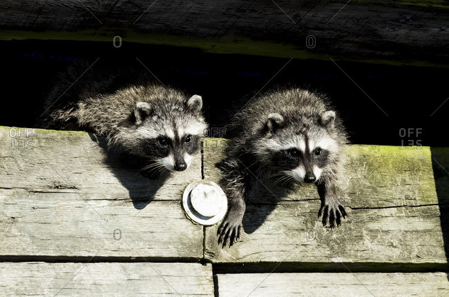 Young raccoons, Inner Harbor, Victoria, Vancouver Island, British Columbia, Canada