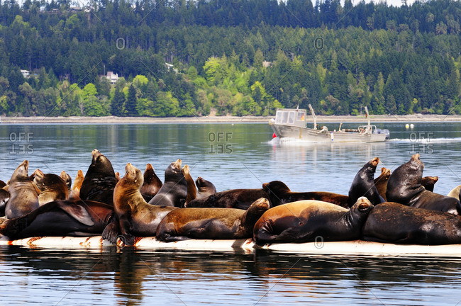 Steller sea lions basking in the sun on a wharf near Fanny Bay, BC, Canada