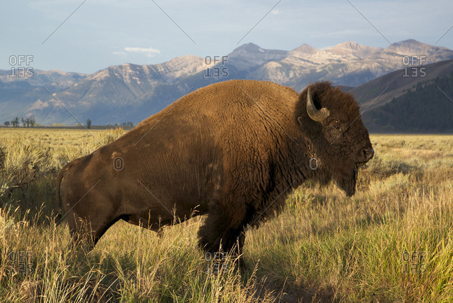 Scenic image of Bull Bison in grassland with Grand Teton mountain range in distance, (Bison bison), Grand Teton National Park, WY