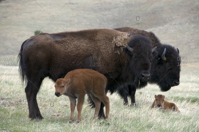 Wild American bison cow (Bison bison) with newborn, spring calf  Wind Cave National Park, South Dakota, USA