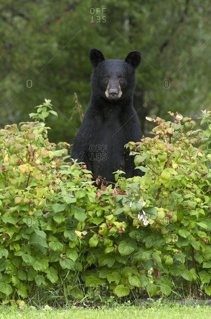 Wild Black bear (Ursus americanus) standing in raspberries (Rubus sp) near Thunder Bay, Ontario, Canada