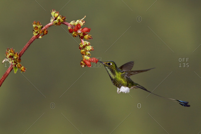 Booted Racket-tail hummingbird (Ocreatus underwoodii) feeding at a flower while flying in the Tandayapa Valley of Ecuador