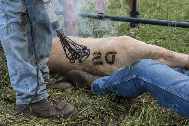 British Columbia, Canada - June 30, 2013: Ranch hands branding a cow