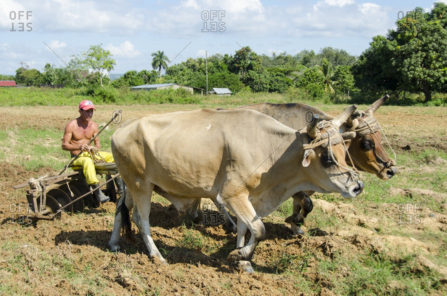 Vinales, Cuba - October 14, 2013: Cultivating a tobacco field using oxen
