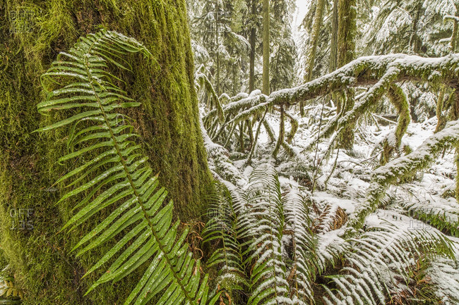 Snow covered douglas fir (Pseudotsuga menziesii) and ferns, Cathedral Grove, Vancouver Island, British Columbia, Canada