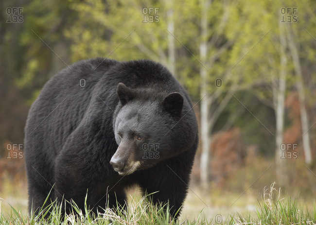 Black Bear (Ursus americanus) near Whirlpool Point, Kootenay Plains, Bighorn Wildland, Alberta, Canada