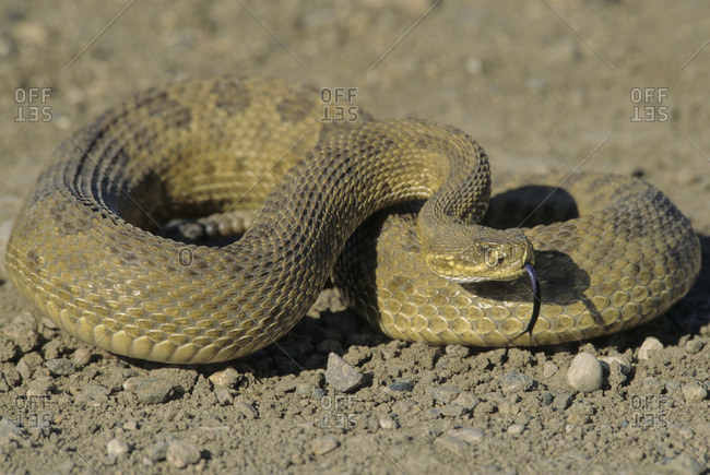 Prairie Rattlesnake (Crotalus viridis) Adult (Western & Plains Rattlesnake) is equipped with powerful venom to kill prey quickly If threatened, will vibrate their tails, producing a unique rasping sound to warn intruders Grasslands National Park, southwestern Saskatchewan, Canada