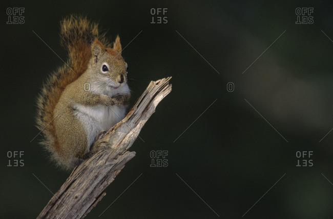 Red Squirrel (Tamiasciurus hudsonicus) Adult is a medium-sized  diurnal mammal that defends a year-round exclusive territory Central Ontario, Canada