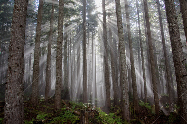 Coastal Temperate Rainforest, Hiking, , Clearing Fog, Mist, shafts of Sunlight, Dakota Ridge Ski area, Wilson Creek Forest Service Road, Roberts Creek, Mt Elphinstone, Sechelt, Sunshine Coast, BC, Canada