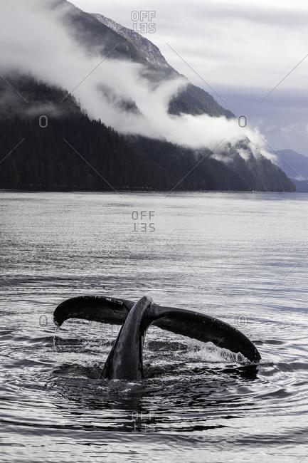 British Columbia, Canada, humpback whale, Megaptera novaeangliae, Central Coast,