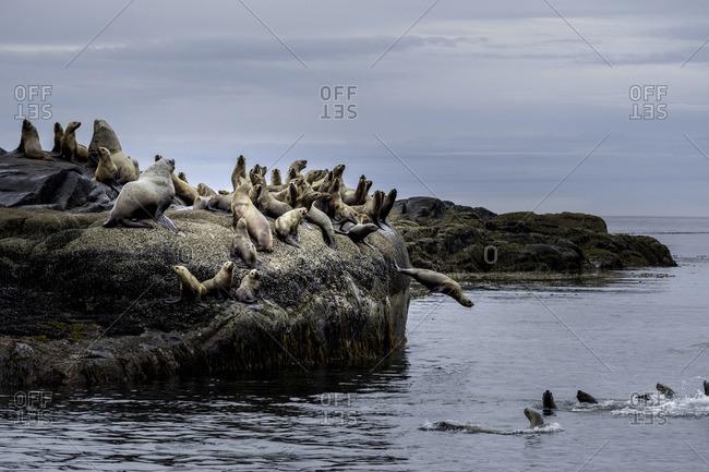 British Columbia, Canada, Central BC coast, Steller sea lions, Eumetopias jubatus,