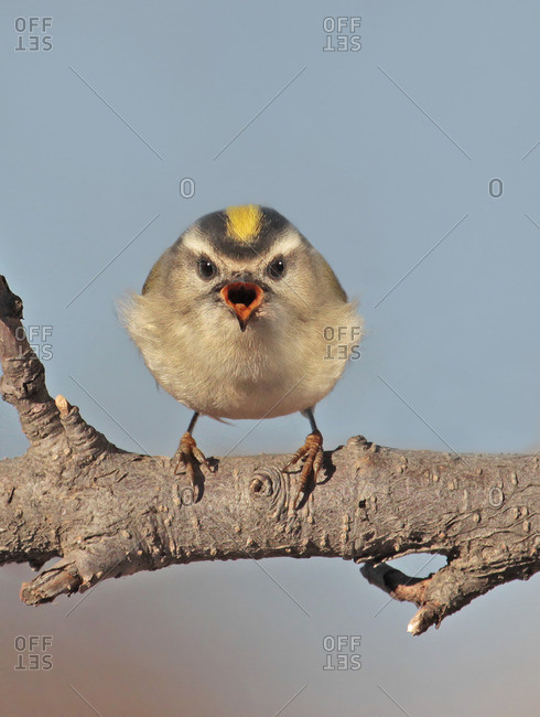 A female Golden-crowned Kinglet, Regulus satrapa, perched on a branch, singing,  in Saskatoon, Saskatchewan, Canada