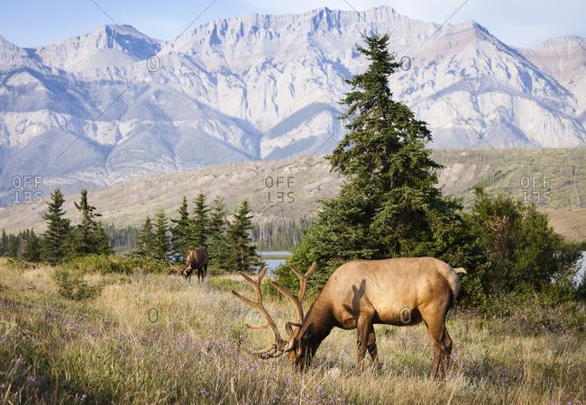 Rocky Mountain Elk, Cervus canadensis nelsoni, Jasper National Park, Alberta, Canada