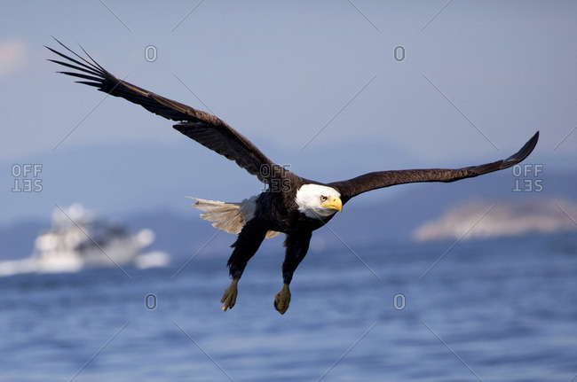 Bald Eagle (Haliaeetus leucocephalus) in Flight, Raptor, Fishing, Summer, blue sky, sunshine, pleasure craft, Islands, calm ocean waters, Lund, BC, Salish Sea, Strait of Georgia