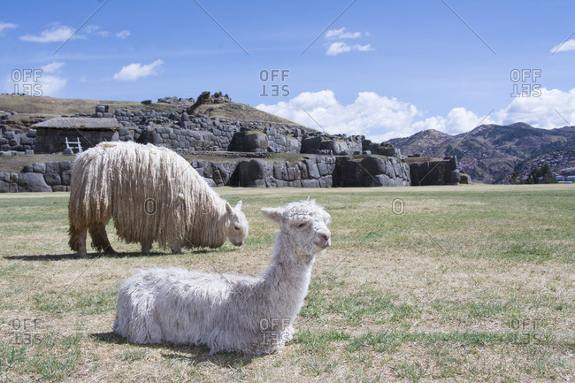 Llamas at Sacsayhuaman arguably is the most impressive of all the ancient sites in Peru , Cuzco, Peru