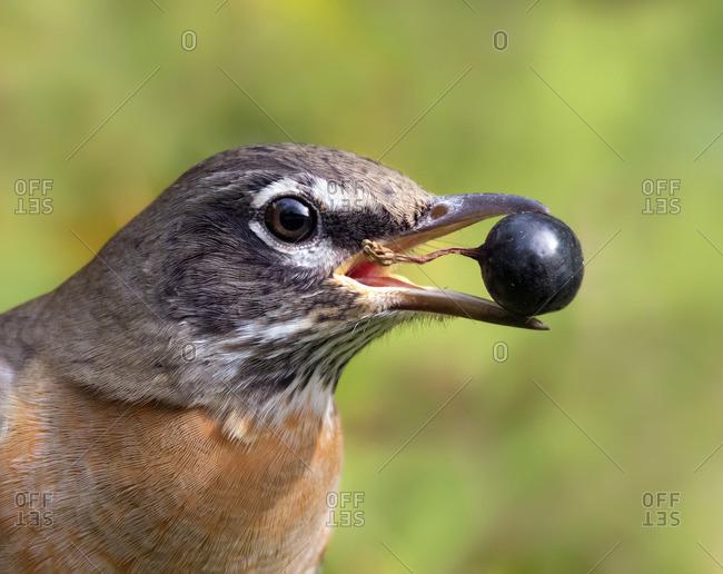 American robin (Turdus migratorius) ,  a migratory songbird of the thrush family