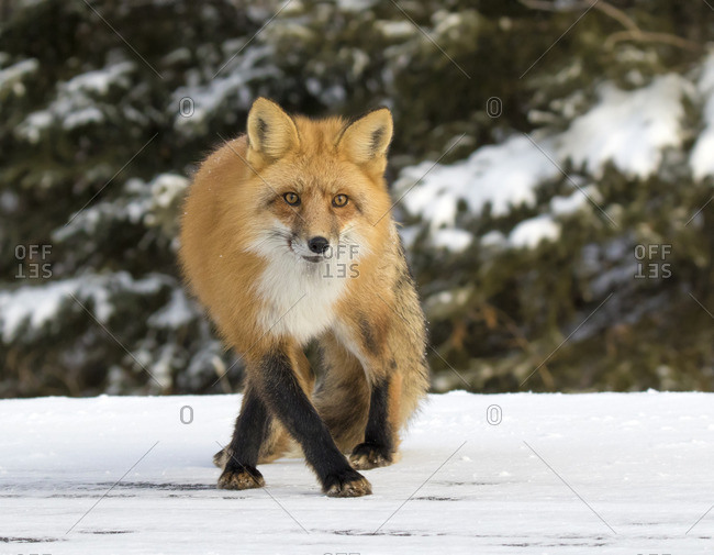 The red fox, (Vulpes vulpes), is the largest of the true foxes and the most abundant wild member of the Carnivora