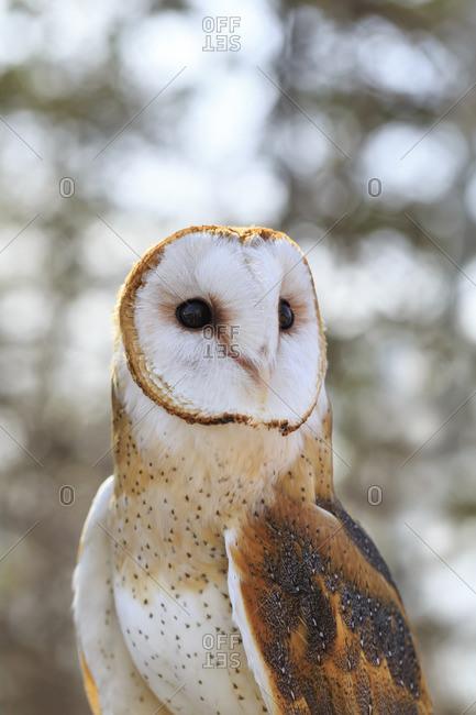 Barn Owl, tyto alba, captive, Fort Whyte, Manitoba, Canada