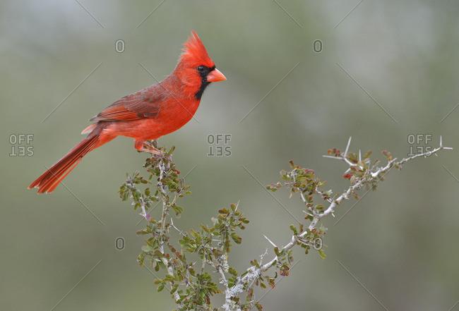 Northern Cardinal, Cardinalis cardinalis, Santa Clara Ranch, Texas