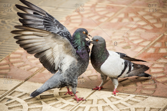 Pigeons fighting in the city plaza of Cochabamba, Bolivia