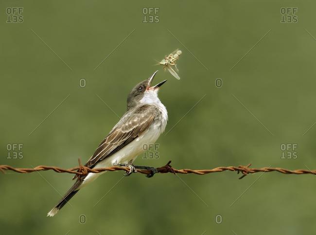 Eastern Kingbird, Tyrannus tyrannus, perched on barbed wire, catching a grasshopper, at Pike Lake, Saskatchewan