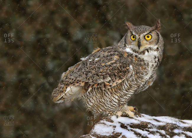 A Great Horned Owl, Bubo virginianus, perched in a snow covered rock in Saskatchewan, Canada