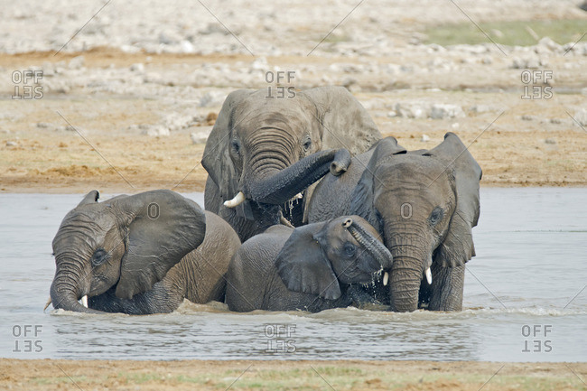 African elephant (Loxodonta africana) family drinking and playing at a waterhole, Etosha National Park, Namibia, southern Africa