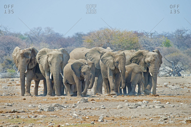 African elephant (Loxodonta africana) family coming to a waterhole to drink, Etosha National Park, Namibia, southern Africa