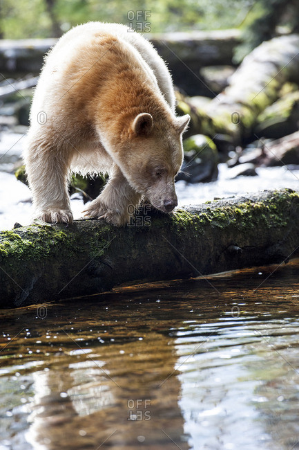 "Kermode ""Spirit"" Bear, ursus americanus kermodei, Great Bear Rainforest, British Columbia"