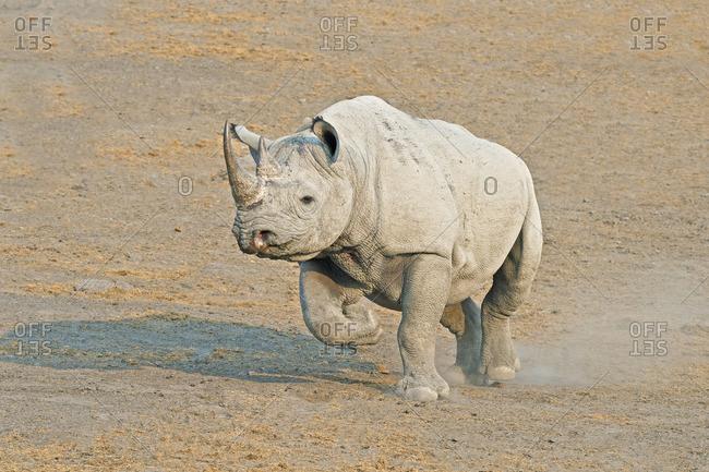 Endangered Black rhinoceros (Diceros bicornis), Etosha National Park, Namibia, southern Africa