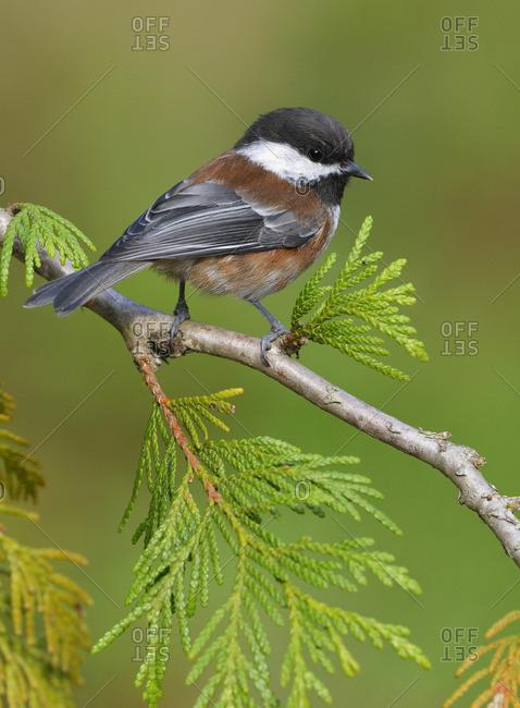 Chestnut-backed Chickadee on Cedar branch - Saanich BC