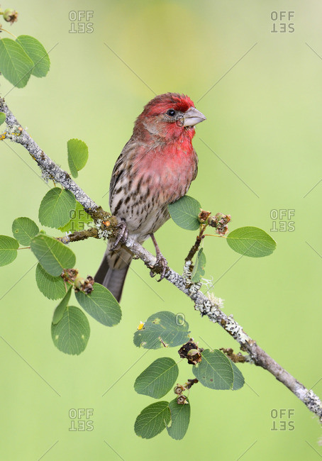 Male House Finch - Saanich BC