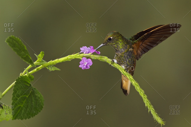 A Buff-tailed Coronet (Boissonneaua flavescens)  feeding at a flower while flying in the Tandayapa Valley of Ecuador