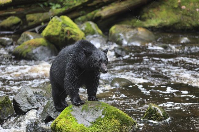 Black Bear, Ursus americanus, standing on rock, Thornton Creek, Vancouver Island, British Columbia, Canada