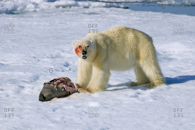 Polar bear (Ursus maritimus) feeding on a juvenile bearded seal (Erignathus barbatus), Svalbard archipelago, Arctic Norway