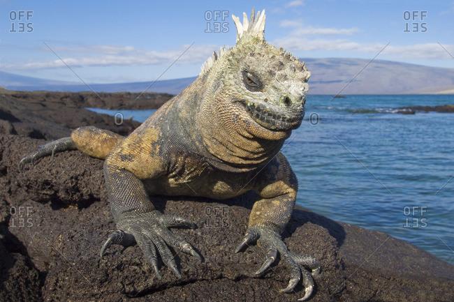 Marine iguana (Amblyrhynchus cristatus), Fernandina Island, Galapagos Archipelago, Ecuador