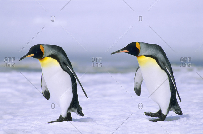 King penguins (Aptenodytes patagonicus) returning to their nesting colony on Salisbury Plains, South Georgia Island, southern Atlantic Ocean