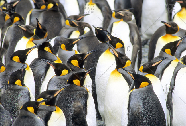 Molting adult king penguins (Aptenodytes patagonicus), Salisbury Plains, South Georgia Island, southern Atlantic Ocean