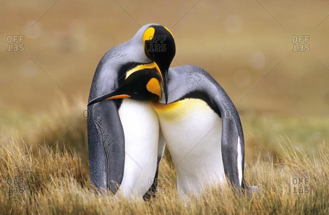 Mating king penguins (Aptenodytes patagonicus) Volunteer Point, Falkland Islands, southern Atlantic Ocean