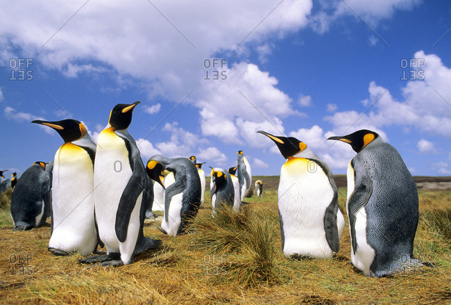 Courting adult king penguins (Aptenodytes patagonicus), Salisbury Plains, South Georgia Island, southern Atlantic Ocean
