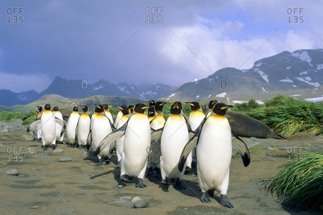 King penguins(Aptenodytes patagonicus) returning from a foraging trip at sea, Salisbury Plains, South Georgia Island, southern Atlantic Ocean
