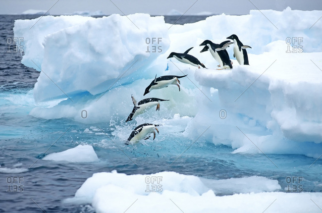 A group of Adelie penguins (Pygoscelis adelie) leaving their nesting colony on a foraging trip  Antarctic Peninsula