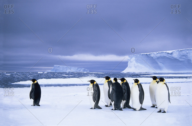 Emperor penguins (Aptenodytes forsteri) wait at the edge of the pack ice in preparation for a foraging journey out to sea, Drescher Inlet, 72 Degrees South, Weddell Sea, Antarctica